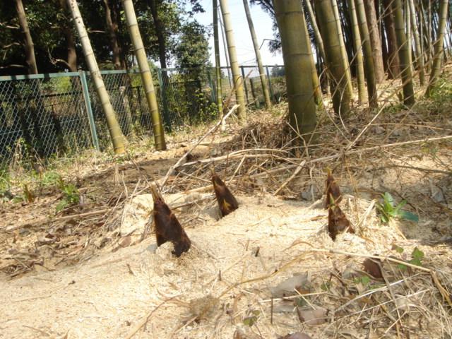 4月24日(日)にタケノコの収穫体験を開催します