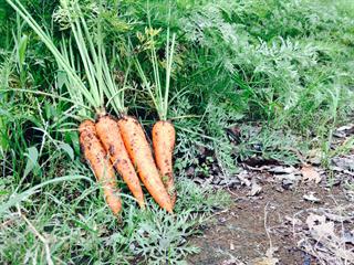 6月27日(月)からニンジンの収穫体験を開催します
