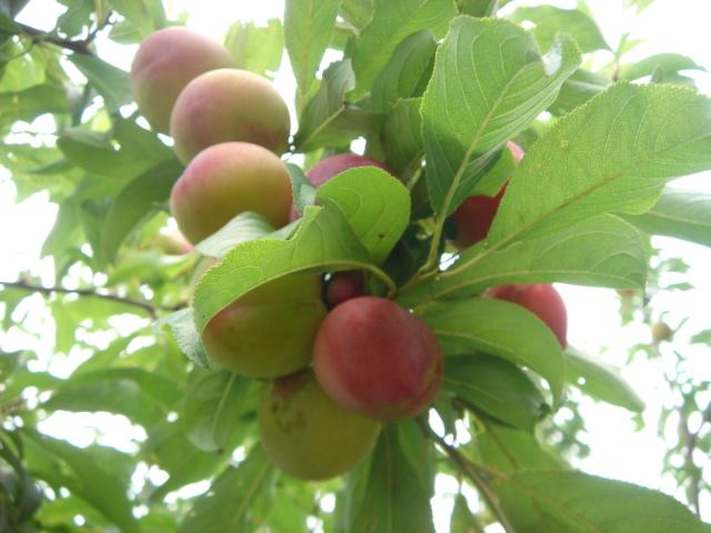 7月16日(土)からプラムの収穫体験を再開します