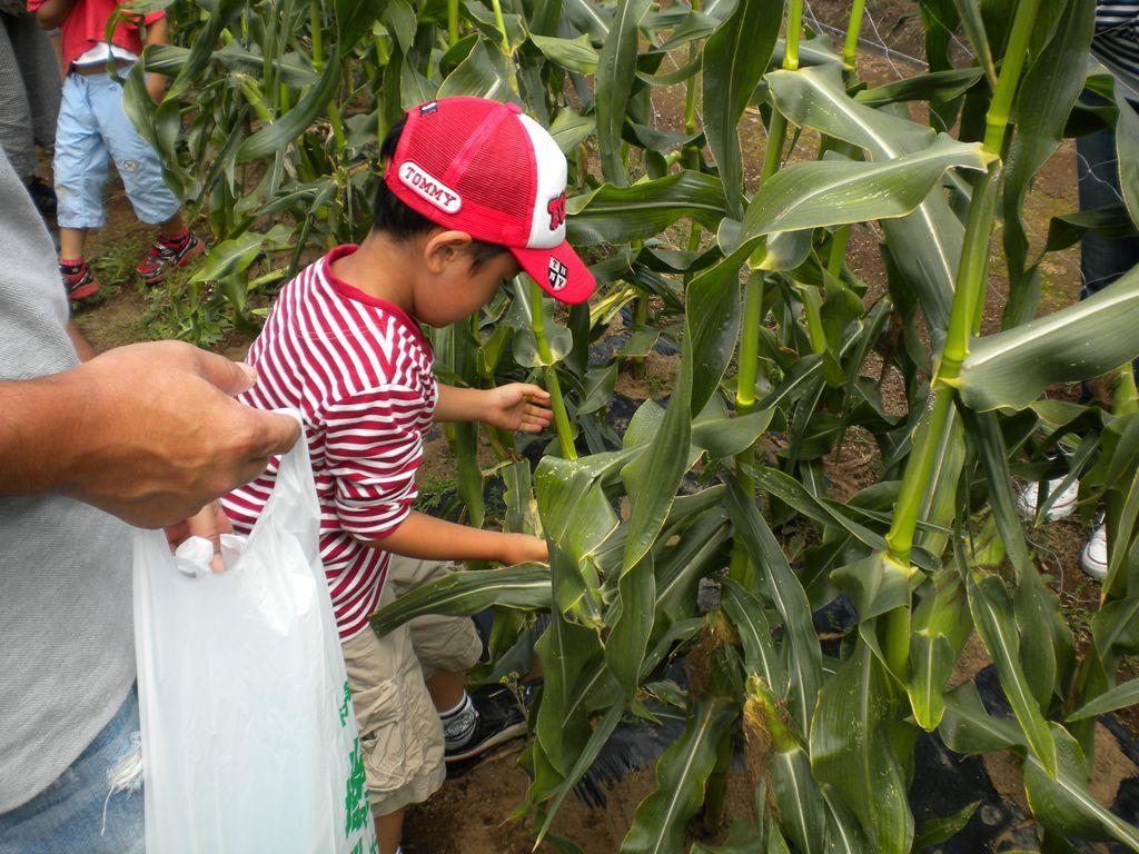 7月10日(日)からトウモロコシの収穫体験を開催します