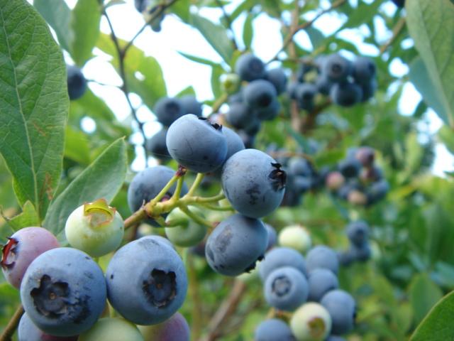 8月13日(土)からブルーベリーの収穫体験を再開します