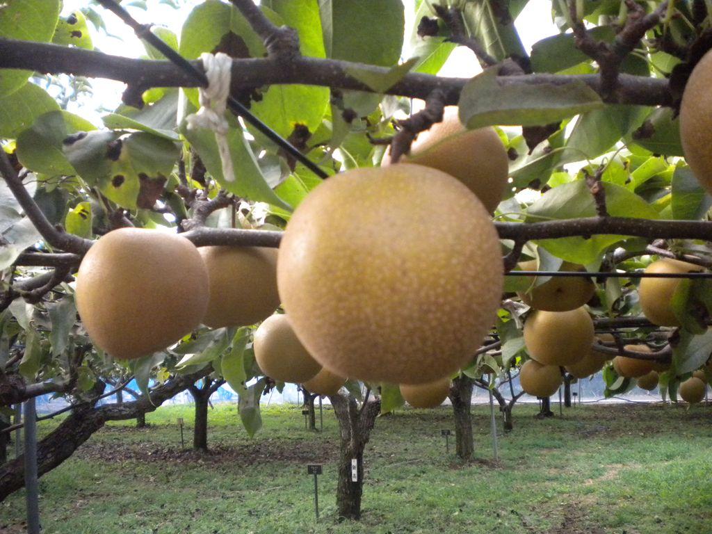 9月10日(土)からナシ(新星)の収穫体験を開催します