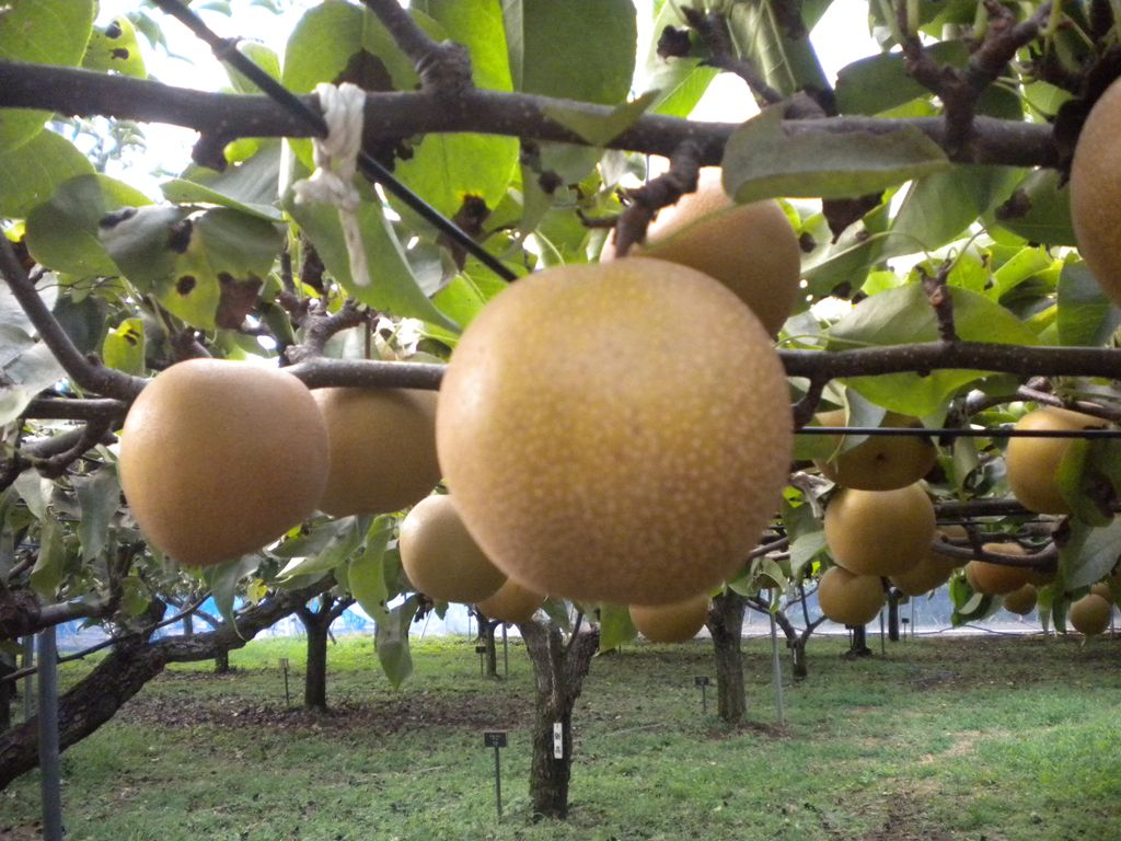 9月17日(土)からナシ(新高(にいたか))の収穫体験を開催します