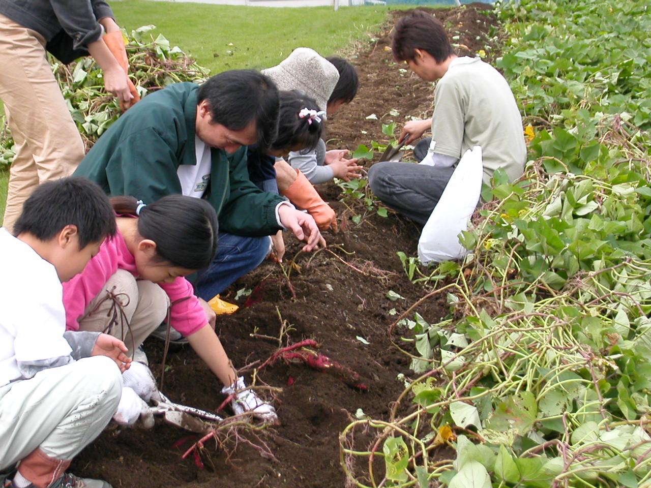 10月29日(土)からサツマイモの収穫体験を開催します