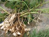 10月15日(土)から落花生(ラッカセイ)の収穫体験を開催します