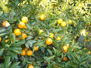 11月12日(土)からミカンの収穫体験を開催します
