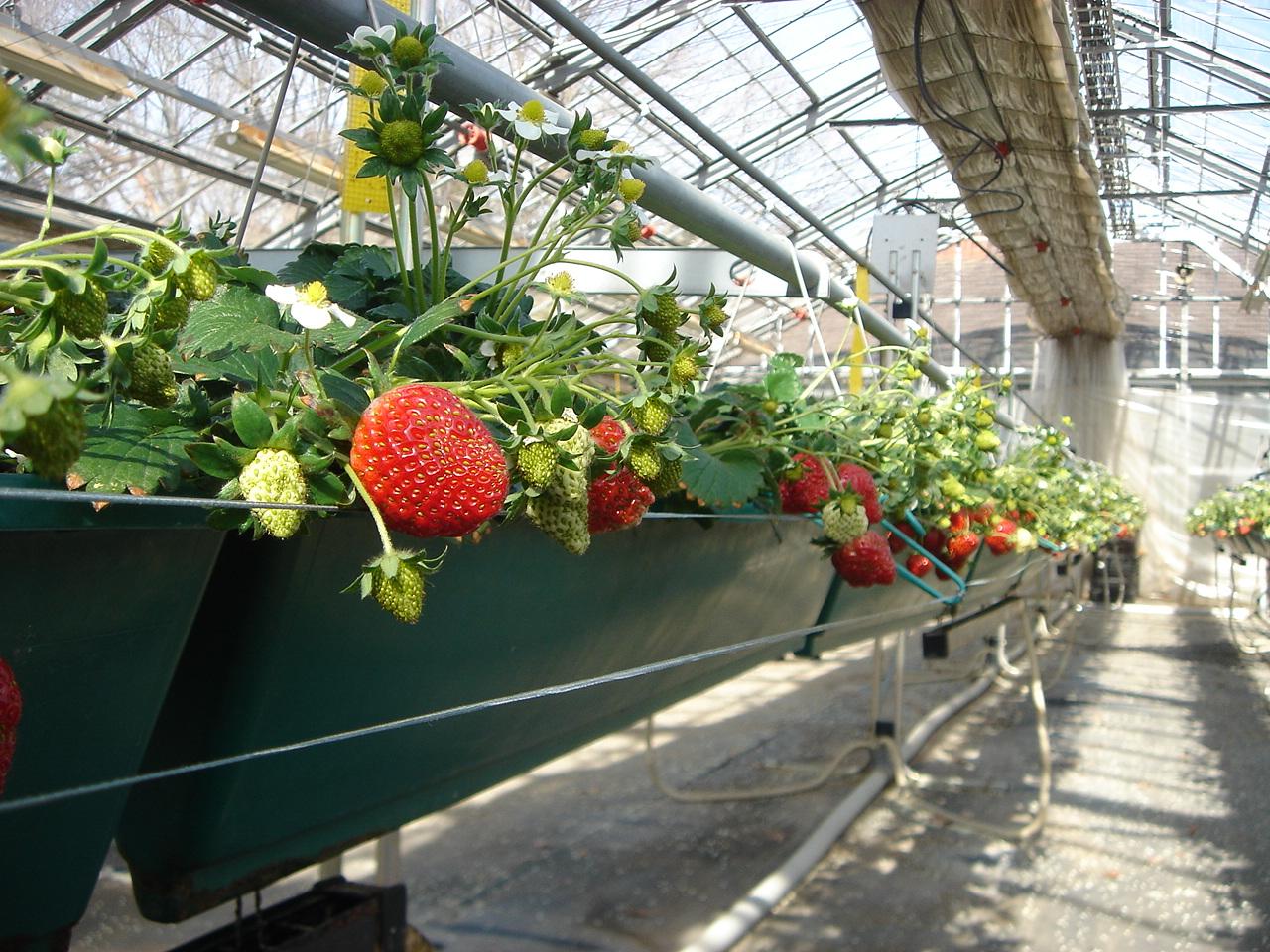 3月11日(土)にイチゴの収穫体験を開催します