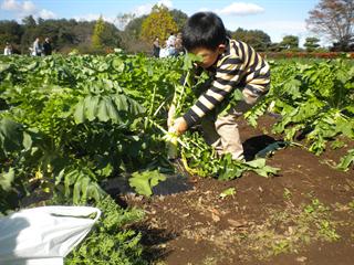5月17日(水)カブとダイコンの収穫体験を開催しています