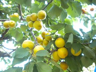 6月14日(水)からアンズの収穫体験を開催します