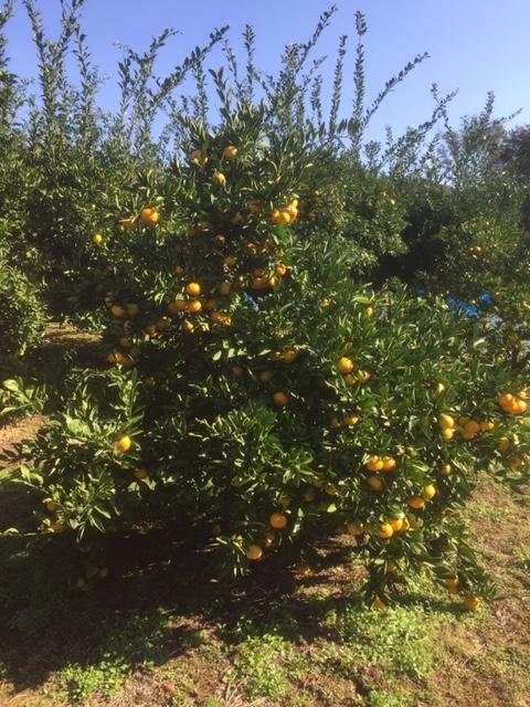 農林公園:11月10日(土)にミカンの収穫体験開催