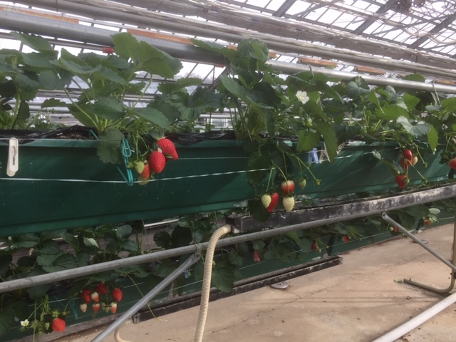 農林公園:12月9日(日)にイチゴ「あまりん」の収穫体験開催