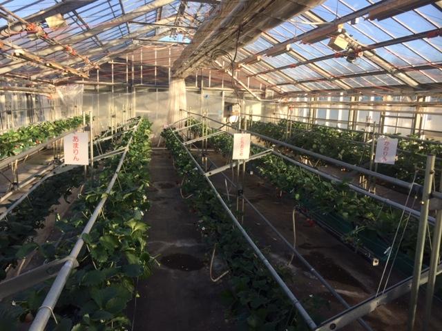 農林公園:1月4日にイチゴ「あまりん」等の収穫体験開催