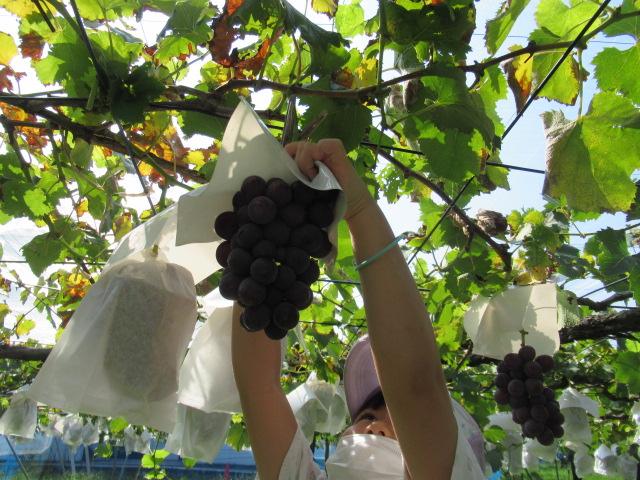 農林公園:今シーズンのブドウ収穫体験は終了しました