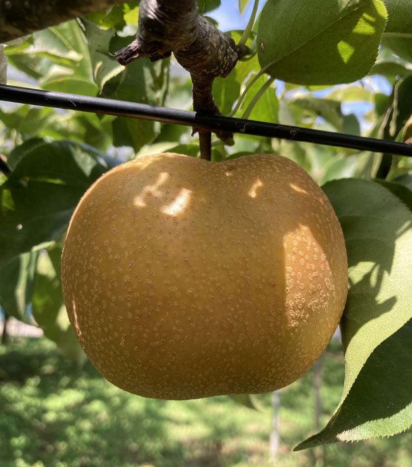 農林公園:梨の収穫体験について